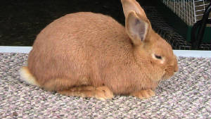 chin_mini_lop_043.jpg
